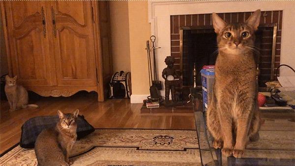 Коты-гипнотизеры