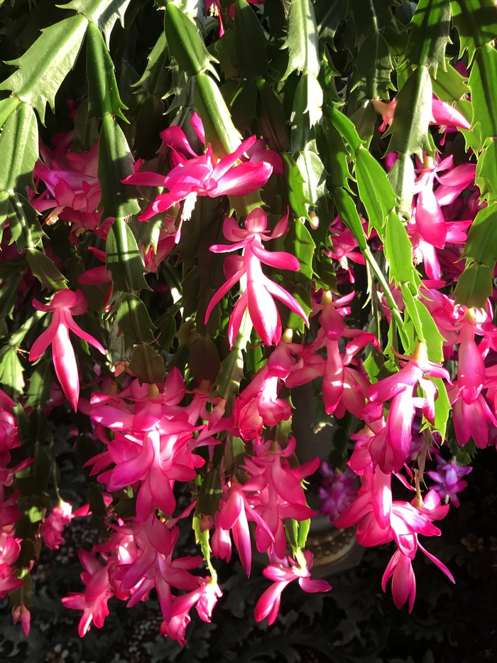 Мой красавец декабрист! Цветы, Комнатные растения, Растения, Кактус декабрист, Кактус, Цветущие кактусы, Цветение, Длиннопост