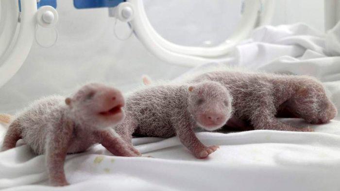 Новые панды Фотография, Панда, Медведь, Животные, Милота