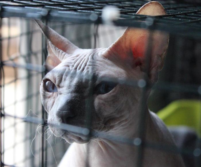 Лысая кошка Тося - отказница, которая выпала с седьмого этажа. И да, нам пришлось ее забрать. Кот, Помощь, Кт, Неврология, Видео, Длиннопост