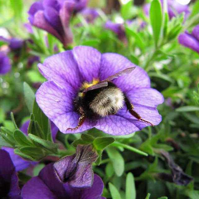 Иногда шмели устают и отдыхают на рабочем месте.. Шмель, Цветы, Нектар, Отдых, Длиннопост