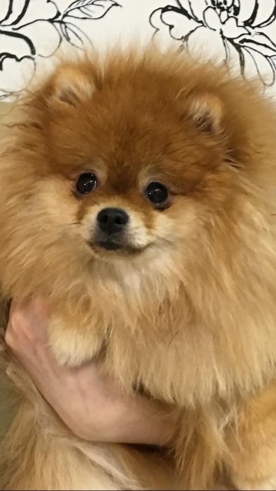 Внимание! Пропала собака! Вероятно украдена! Пермь Пермь, Шпиц, Собака, Пропала собака, Пропала собака Пермь, Длиннопост, Без рейтинга