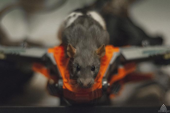 Сяма и Серая Крыса, Декоративные крысы, Домашние животные, Милота, Фотография, Длиннопост