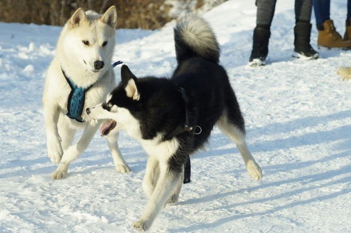 Забавные мордахи Фотография, Собака, Лайка, Хаски, Зима, Снег, Игры, Длиннопост