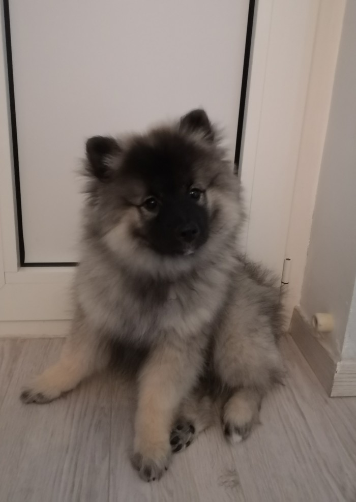Собаке три месяца Собака, Шпиц, Щенки, Длиннопост