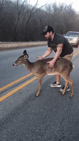 Мужчинаубрал с дороги испуганного оленёнка