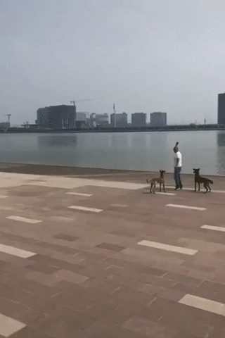 Летающие собаки Гифка, Собака, Slow motion, Прыжок, Апорт, Малинуа