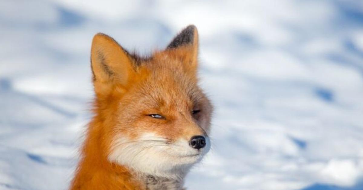 Картинка лисы а не колобок ли ты часом
