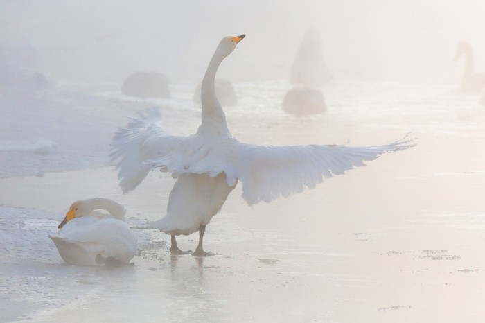 Лебединое утро