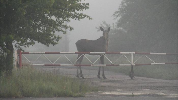 Радиация и Чернобыль. Дикие животные в зоне отчуждения