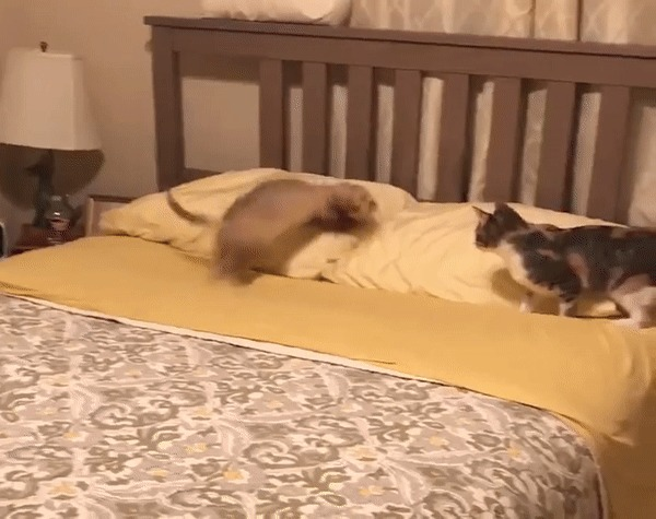 Кто в доме хозяин? Кот, Хорек, Пушистые, Милота, Гифка, Животные, Домашние животные