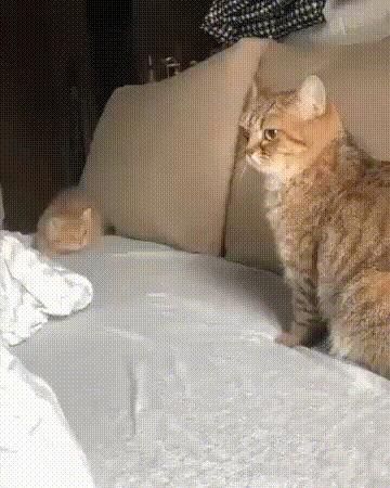 Такие маленькие, а уже хищники! Кот, Котята, Хищник, Гифка, Длиннопост