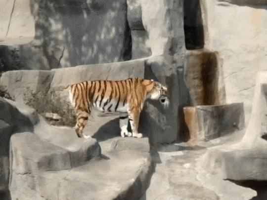 Самый смелый кот!