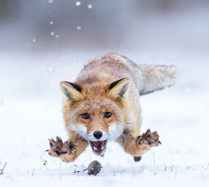 Пушистый охотник настигает добычу! .