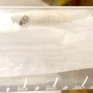 Во имя экологии: червей, поедающих пчелиный воск, накормили полиэтиленовыми пакетами Экология, Червь, Пластик, Гифка