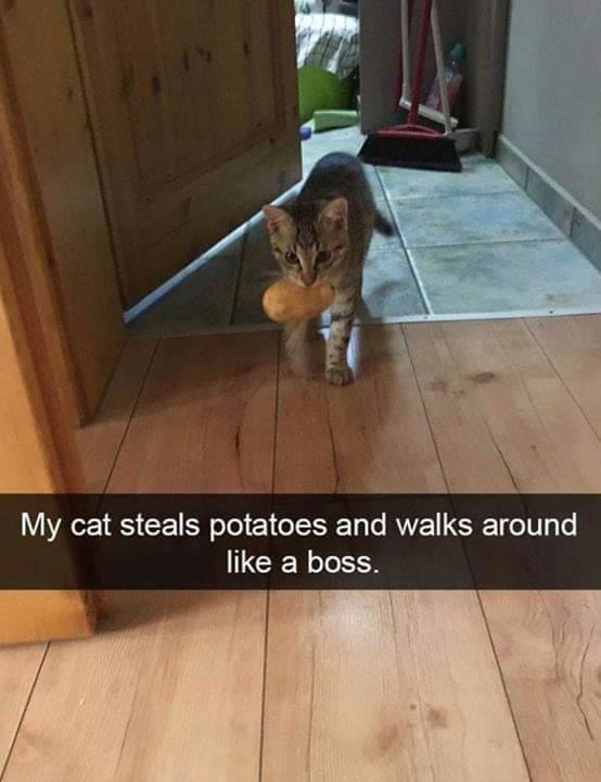 Мой кот ворует картоху и ходит, как начальник