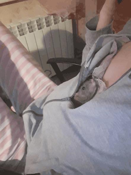 Хвост и Мелкий Крыса, Декоративные крысы, Домашние животные, Питомец, Грызуны, Крысиные хроники, Гифка, Длиннопост