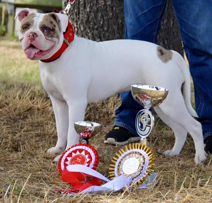 О породах собак №127. Американский бульдог; Алапахский чистокровный бульдог (Отто) и прочие крупные бульдоги Собака, Породы собак, Американский бульдог, Служебные собаки, Длиннопост