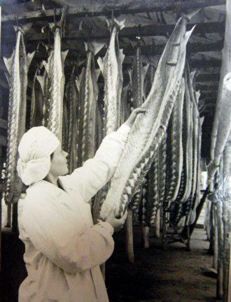 В Азовском море водилась царь-рыба весом до тонны Мариуполь, Азовское море, Осетровые, Длиннопост, Рыба, Черно-белое фото, Тунец