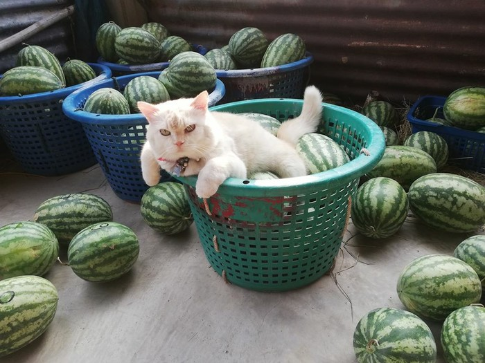 Самый надёжный сторож арбузов Кот, Арбуз, Таиланд, Длиннопост