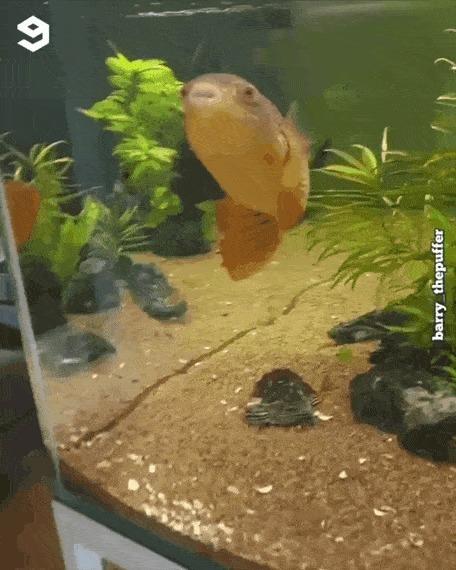 На радость рыбке 9GAG, Рыба, Забавное, Гифка, Ракушки, Иглобрюх