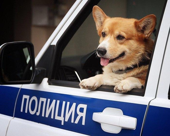 Единственный в России корги-полицейский ушёл на пенсию