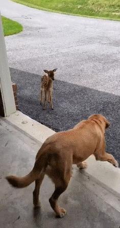 Маленький бэмби хотел познакомится с собакой