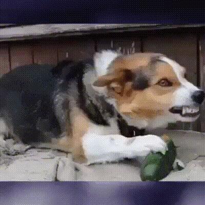Самая злая собака - собака веган