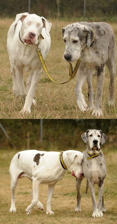 У слепой собаки есть собственный пёс-поводырь...