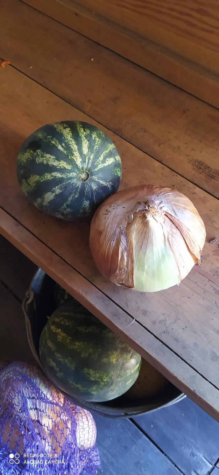 Лук большой или арбуз маленький?