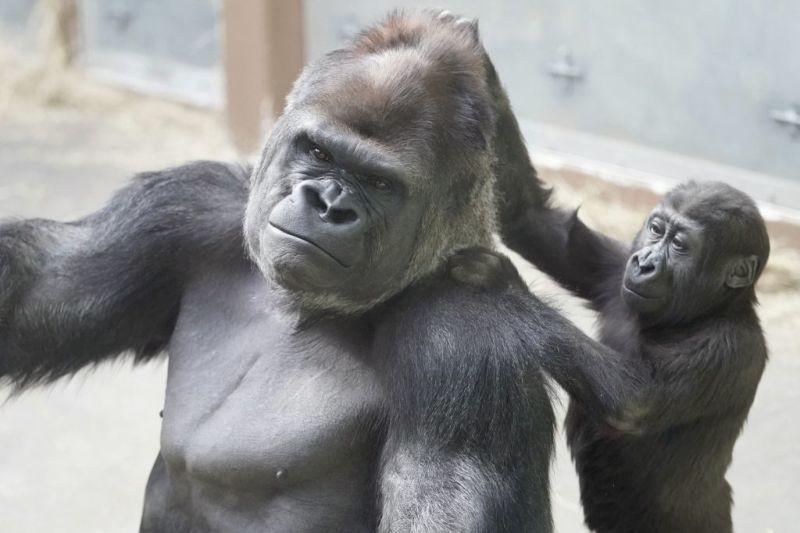 Порно с лысым шимпанзе