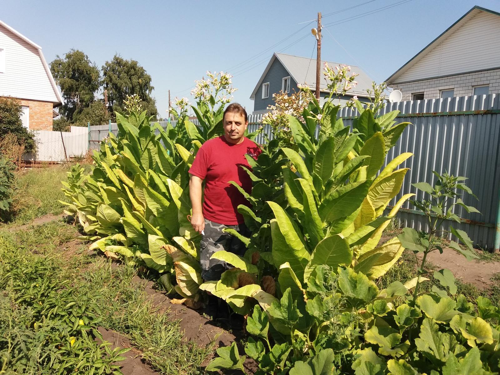 Как вырастить табак в своем огороде