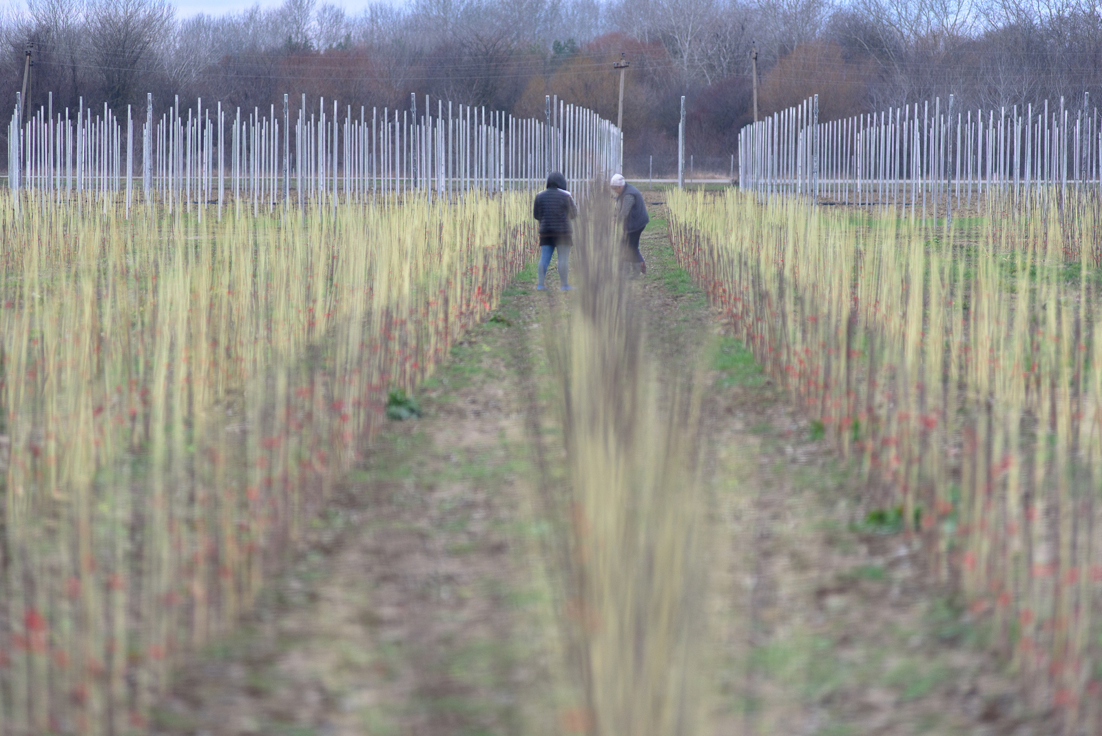Как выращивают яблоки в интенсивных садах сельхозкультура