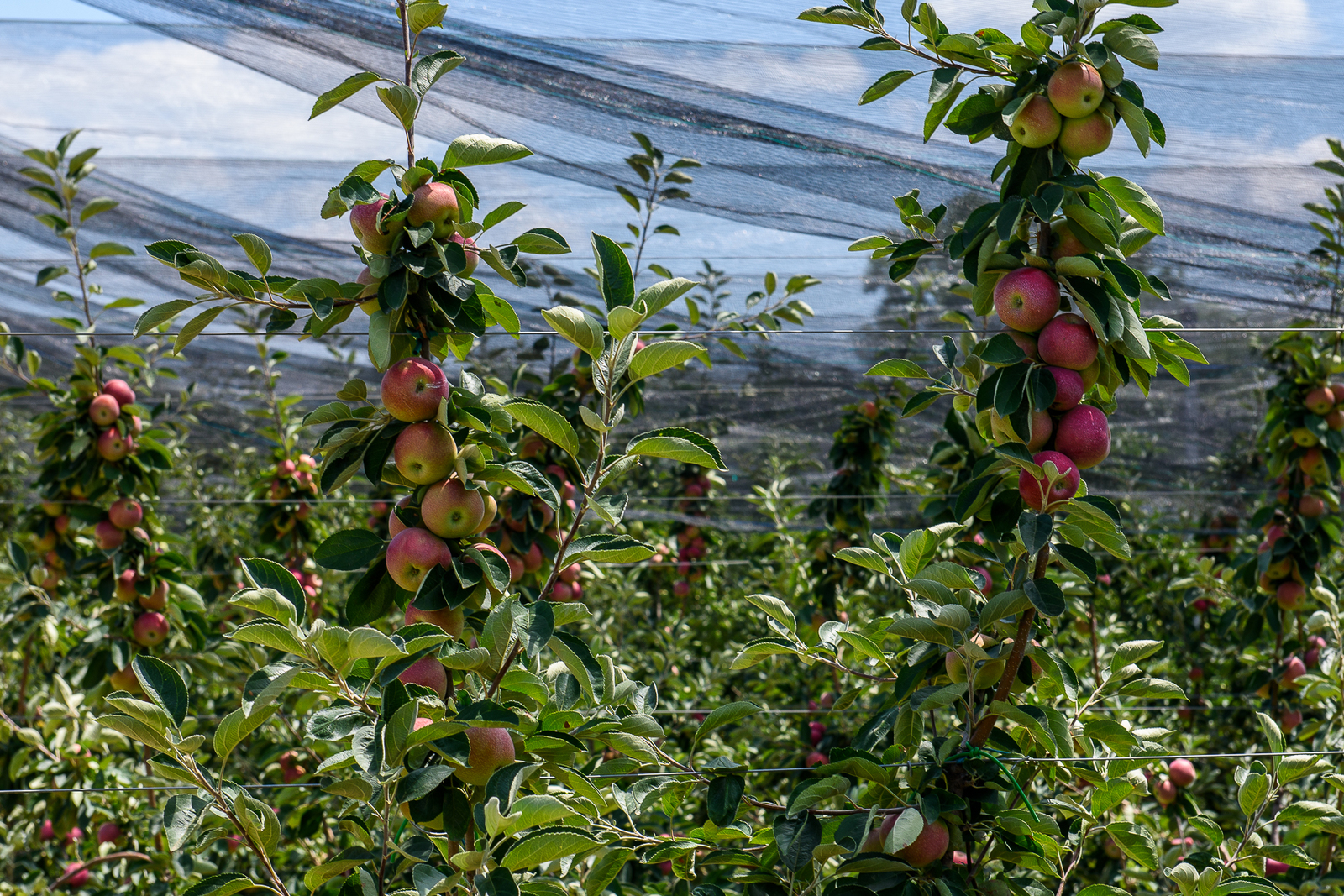 Как выращивают яблоки в интенсивных садах