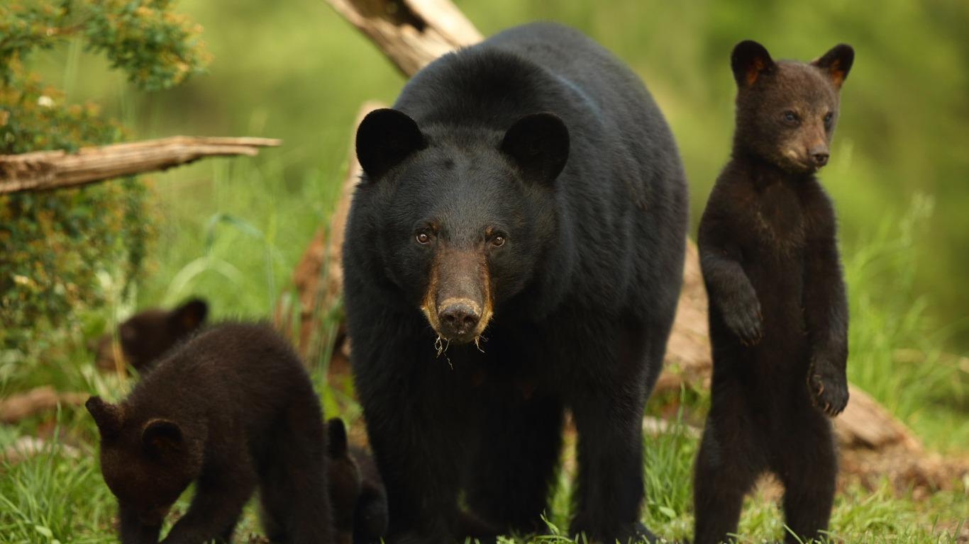 Обои Медведь, медведица, медвежата, ursus maritimus. Животные