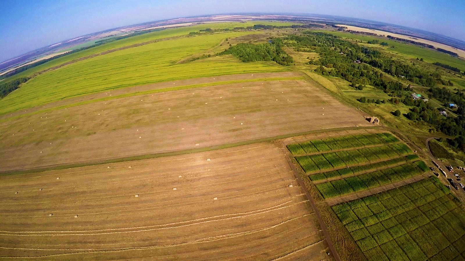 Как выращивают коноплю в России сельхозкультура