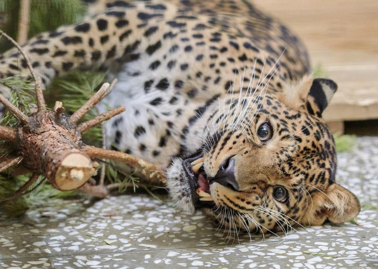 Обои африка, охота, сафари, Кошка, леопард. Кошки foto 13