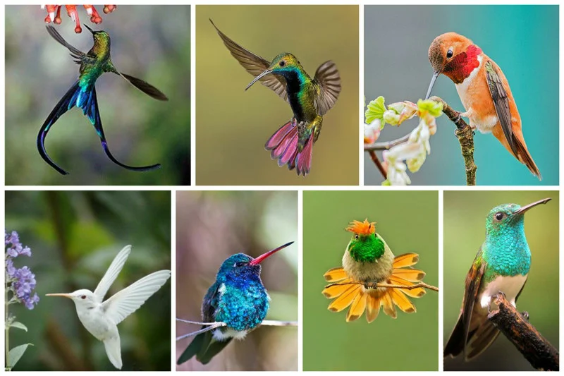Колибри: Невозможная птица