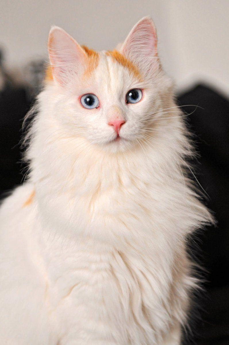 кот турецкий ван фото
