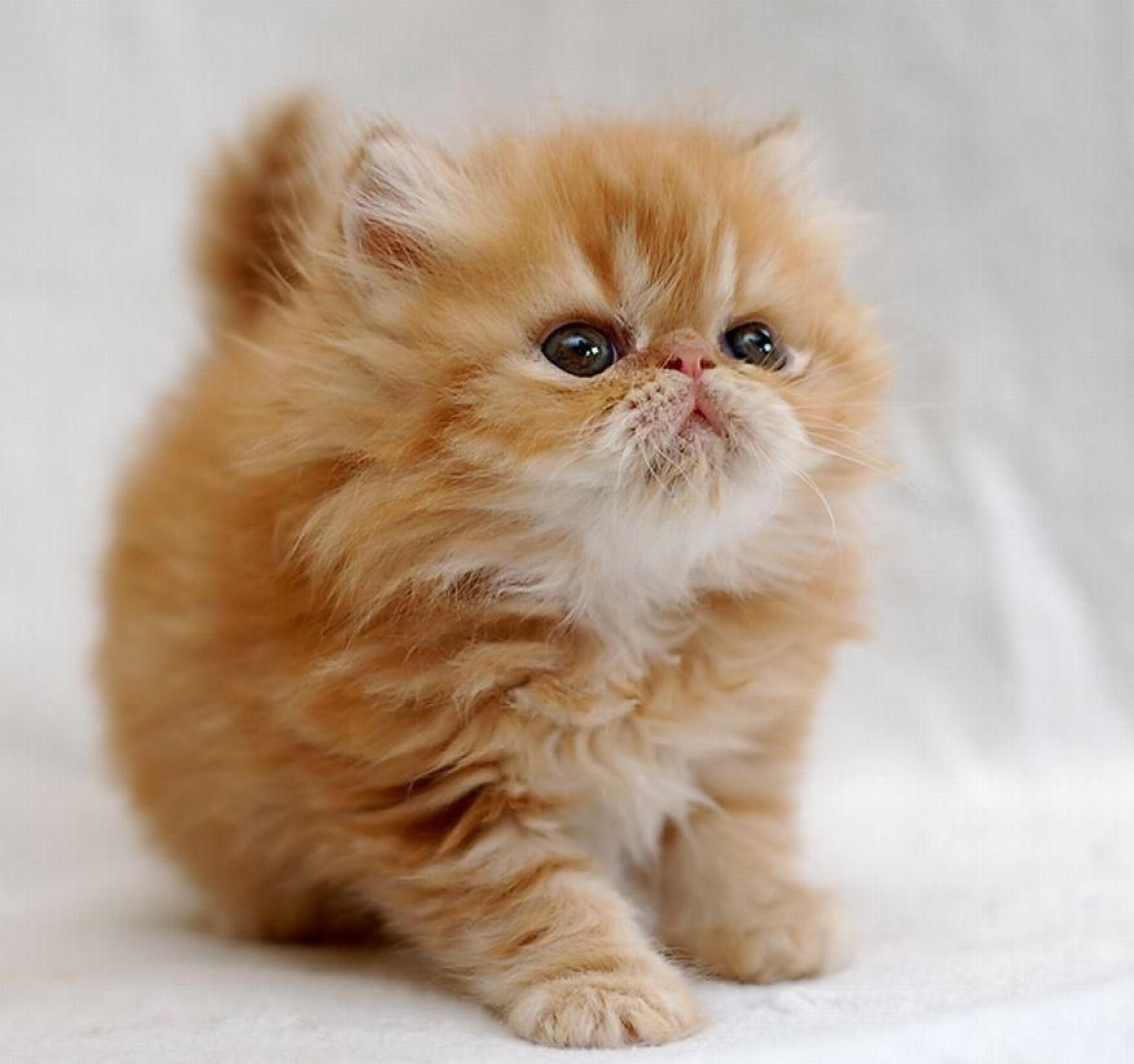 персидский кот гладкошерстный