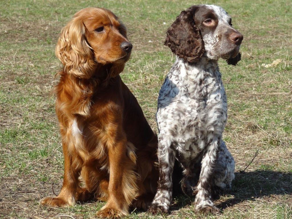 Обои спаниель, шоколадный, щенки. Собаки foto 14