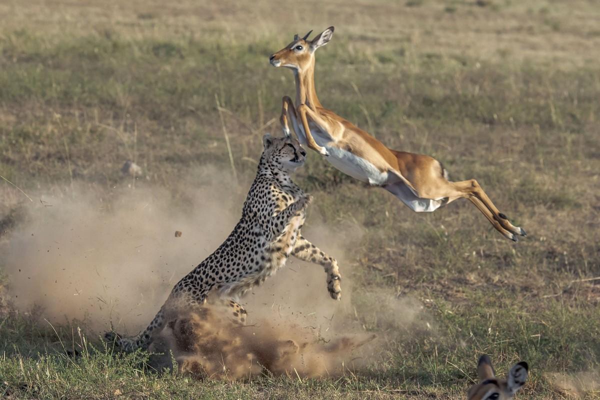 Обои африка, охота, сафари, Кошка, леопард. Кошки